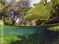 Le acque limpide del fiume Ninfa e una pianta amazzonica in primo piano nella foto di David Salvatori